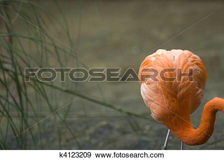 Stock Photograph of Flamingo (Phoenicopteriformes.