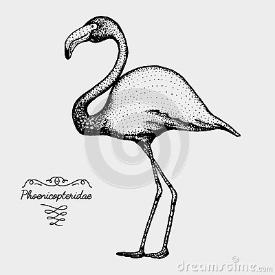 Phoenicopteridae Stock Illustrations.