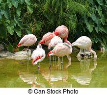 Pictures of flamingos (Phoenicopteriformes), zoo Salzburg, Austria.