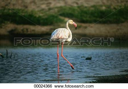 Stock Images of Juniors, Phoenicopteriformes, Phoenicopterus.