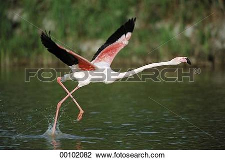Stock Photo of Juniors, Phoenicopteriformes, animal, animals, aqua.