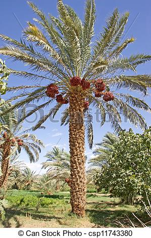 Pictures of Date palm tree (Phoenix dactylifera) with dates.