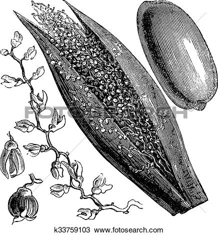 Clipart of Date Palm or Phoenix dactylifera, vintage engraving.