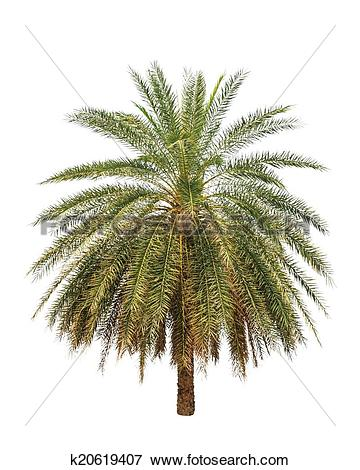 Picture of Date palm (Phoenix dactylifera), tropical tree in the.