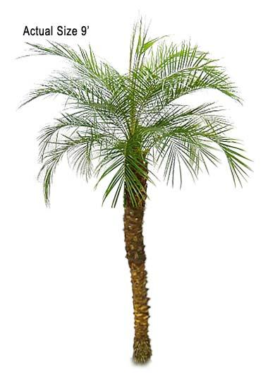 Similiar Phoenix Palm Varieties Keywords.