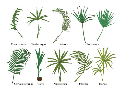 Phoenix Palm Tree Clip Art, Vector Images & Illustrations.