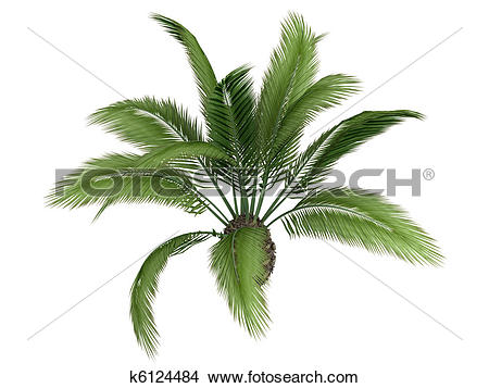 Drawings of Canary date palm or Phoenix canariensis k6124484.