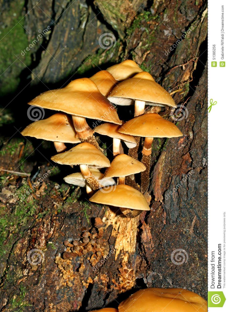 Fungi On A Stub;pholiota Mutabilis Stock Photo.