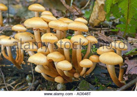 Cluster Of Mushrooms Stock Photos & Cluster Of Mushrooms Stock.