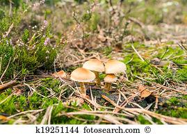 Pholiota mutabilis Stock Photos and Images. 65 pholiota mutabilis.