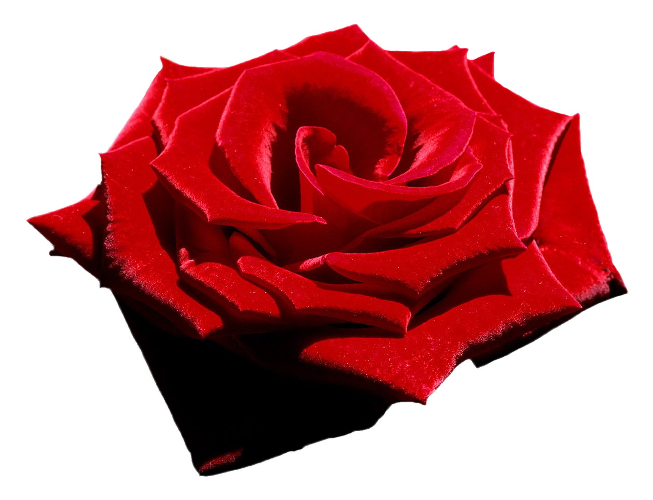 Velvet Red Rose, Png file, Attention only the maximum.