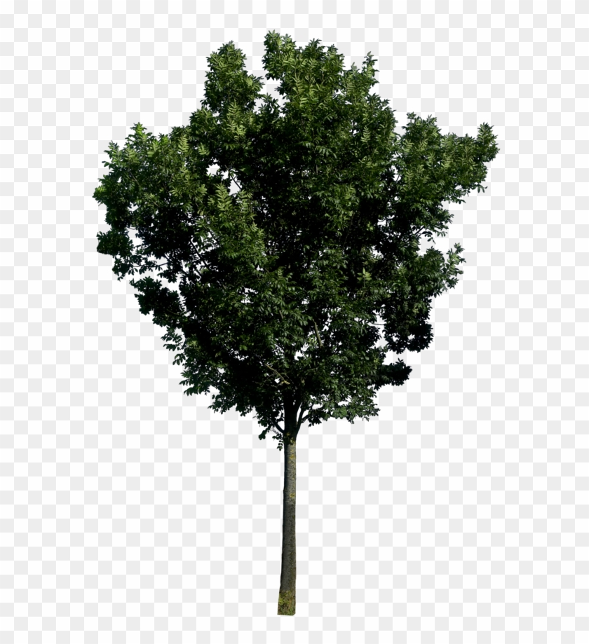 Fig Trees Png Photoshop, Transparent Png.