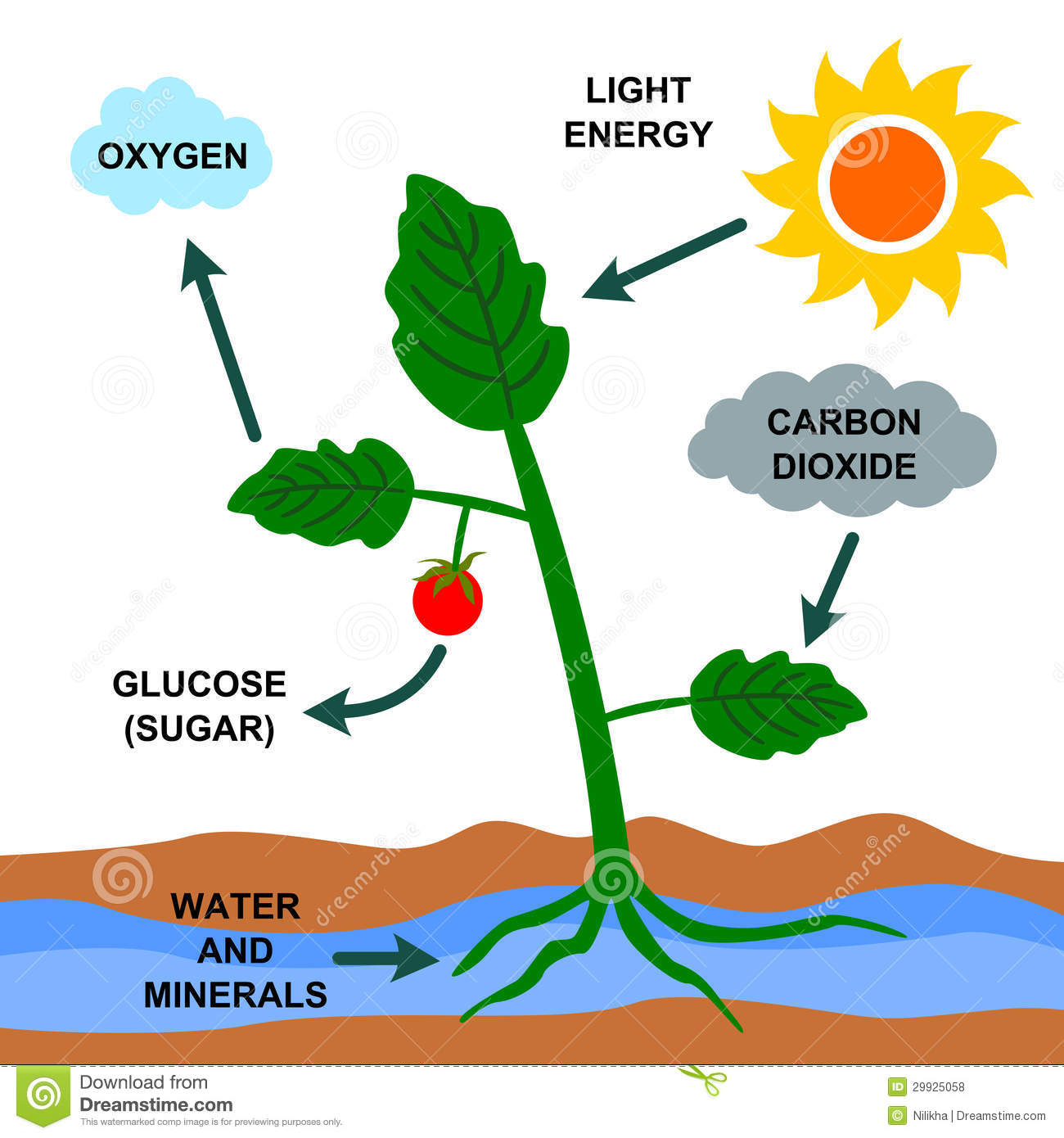Photosynthesis Stock Illustrations.