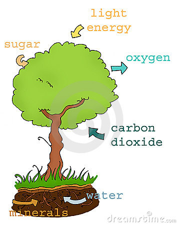 Photosynthesis Stock Illustrations.