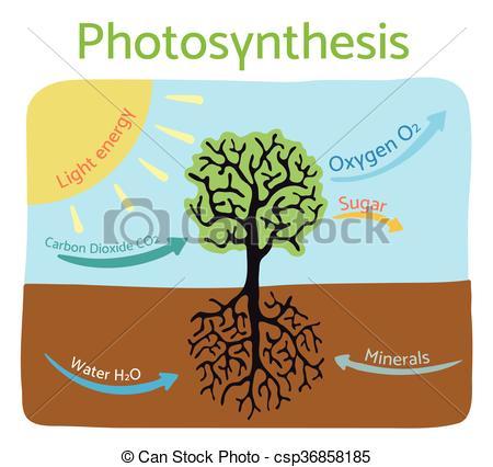 Vector of Photosynthesis process diagram. Schematic vector.