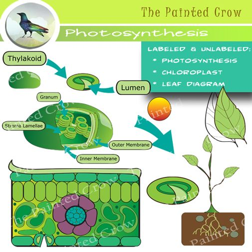 Leaf Diagram and Photosynthesis Clip Art.