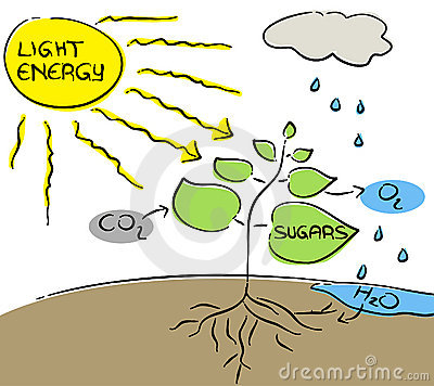 Photosynthesis clipart.