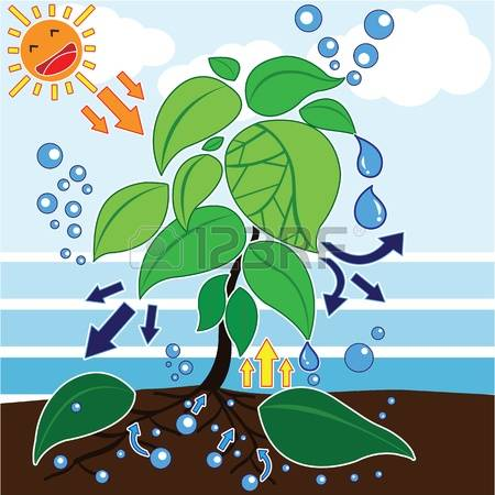 1,035 Photosynthesis Stock Illustrations, Cliparts And Royalty.