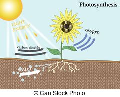 Photosynthesis Illustrations and Clip Art. 1,028 Photosynthesis.
