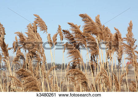 Stock Photography of Phragmites Australis k3480261.