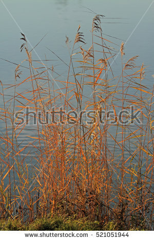 Phragmites Stock Photos, Royalty.