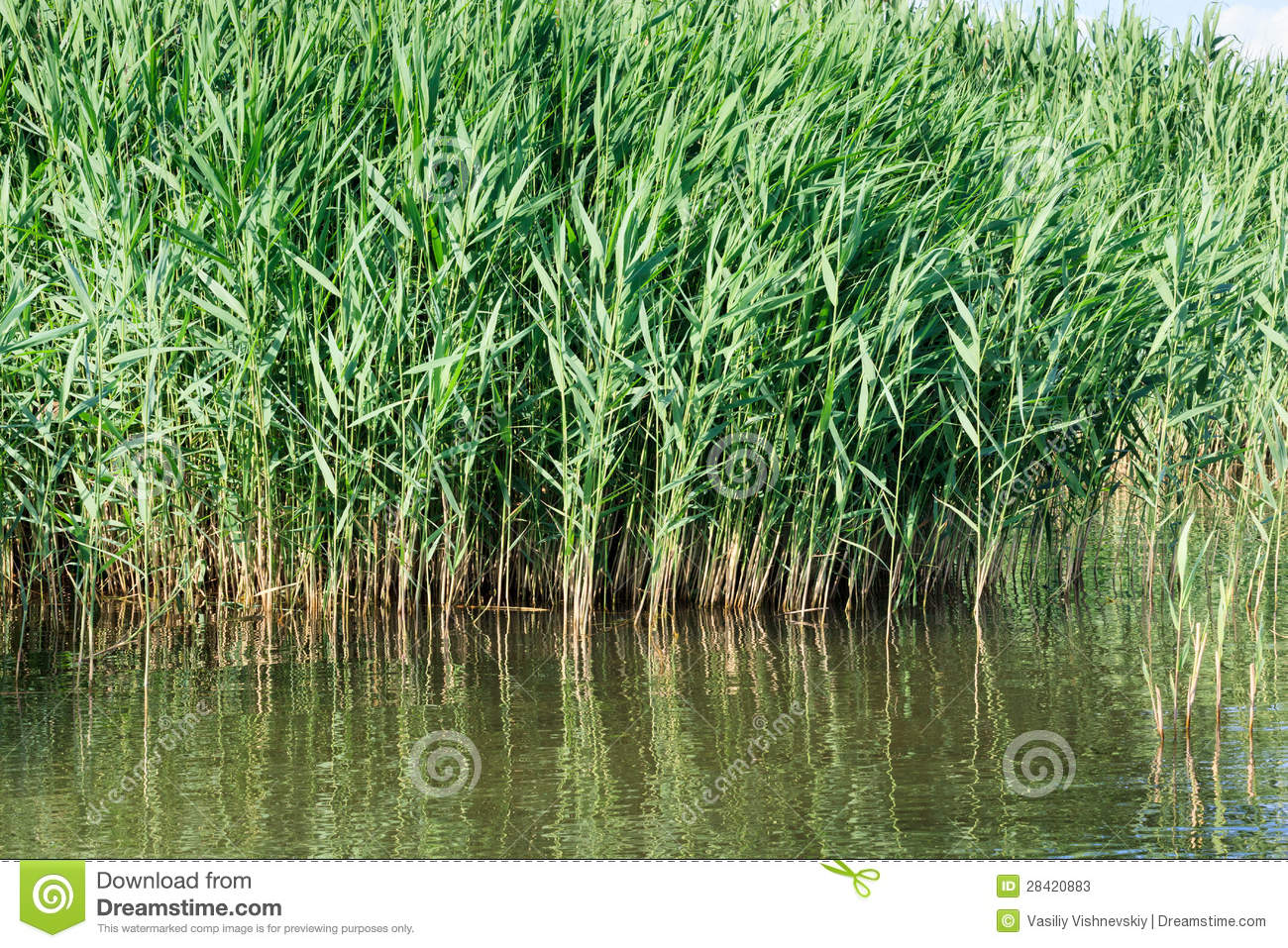 Phragmites Australis, Common Reed. Stock Photos.