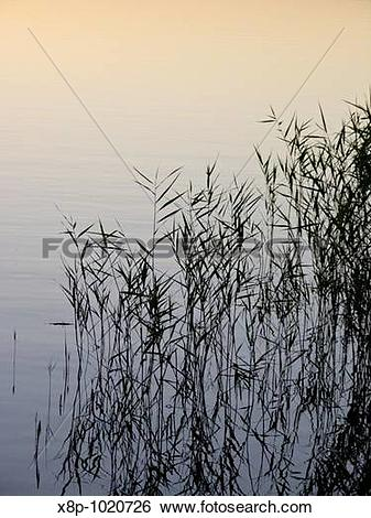 Stock Images of Reed Phragmites australis x8p.