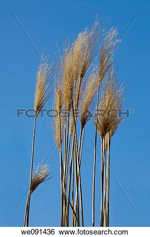 Stock Images of Schilfrohr / Phragmites australis / reed we091436.
