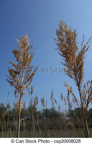 Stock Photo of Reed Seed Heads.