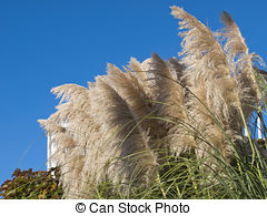 Phragmites Stock Illustration Images. 5 Phragmites illustrations.