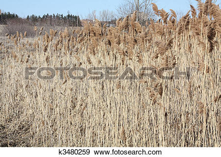 Stock Photograph of Phragmites Australis k3480259.