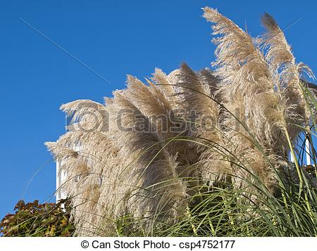 Stock Illustrations of Phragmites australis:It is a perennial herb.