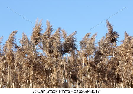 Stock Photography of Phragmites australis growing in a ditch.