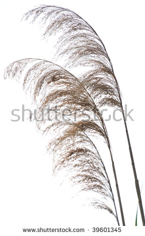 Phragmites Australis Stock Photos, Royalty.
