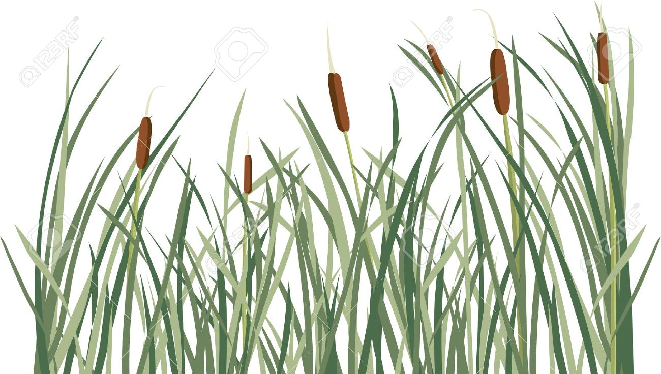 Reed And Green Grass Background Illustration For Design Royalty.