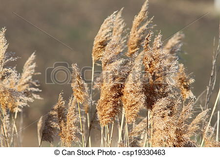Stock Image of reeds in late winter.