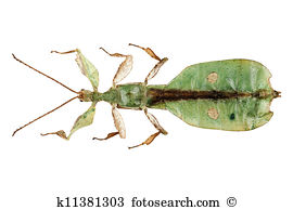 Phylliidae Stock Photo Images. 66 phylliidae royalty free pictures.
