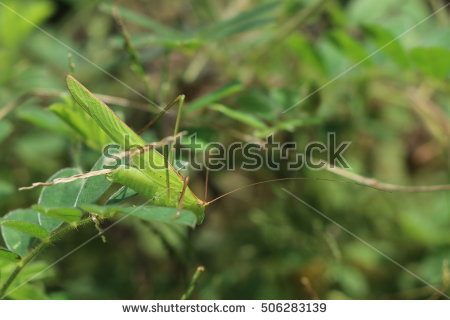Phylliidae Stock Photos, Royalty.