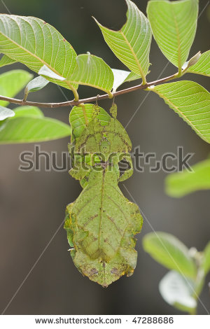 Leaf Insect Stock Photos, Royalty.