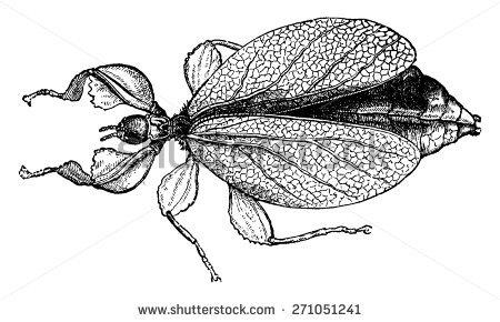 Phylliidae Stock Vectors & Vector Clip Art.