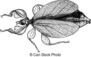 Phylliidae Clipart Vector and Illustration. 2 Phylliidae clip art.