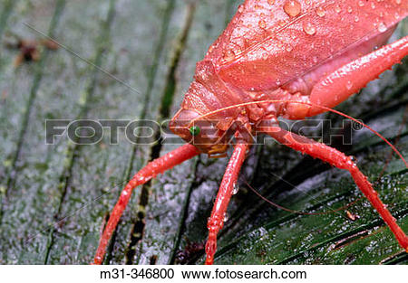 Stock Photography of Red leaf insect (fam. Phylliidae). Soberan?a.