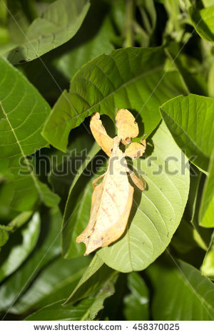 Phylliidae Stock Photos, Royalty.