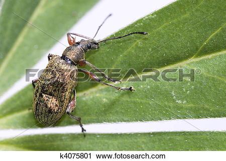 Stock Photography of Weevil (PHYLLOBIUS CALCARATUS) k4075801.