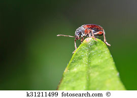 Phyllobius Stock Photos and Images. 23 phyllobius pictures and.