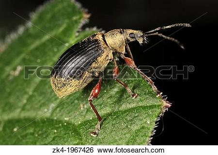 Stock Images of A Phyllobius glaucus on a leaf at Champ.