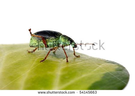 Phyllobius pomaceus Stock Photos, Images, & Pictures.
