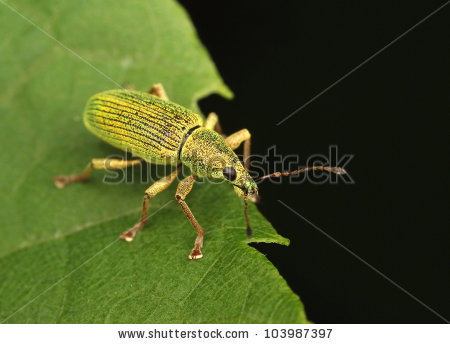 Green Phyllobius Shiny Weevil Stock Photos, Images, & Pictures.