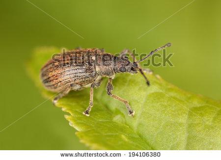 Common Leaf Weevil, Phyllobius Pyri On Leaf Stock Photo 194106380.