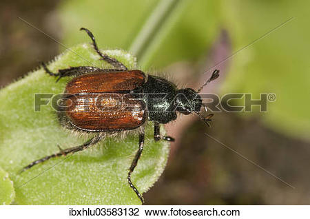 "Stock Photo of ""Garden Foliage Beetle or Common Cockchafer."